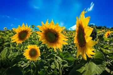 Fotobehang Zonnebloem Feld mit Sonnenblumen und blauen Himmel