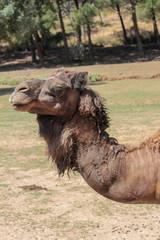 Camelo de Perfil