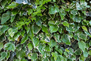 Perfect wallpaper of nature details. Green leafs wall texture background.