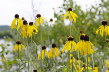 Group of Vibrant Yellow Coneflower Black Eyed Susans in Bloom Against Green Field and Water Background with Soft White Sky