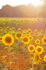 field of sunflowers with lighting effect