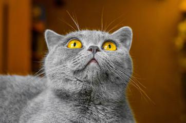 Photo sur Toile Croquis dessinés à la main des animaux Gray Scottish cat, portrait on brown background