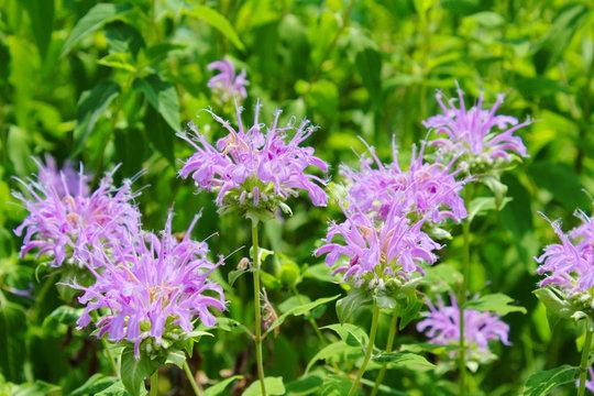 Light Pink Purple Monarda Bee Balm Wild Native Perennial Prairie Flowers in Bloom Against a Green Leaf Background
