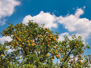 Ripe and unripe apples on a tree in front of cloudy sky