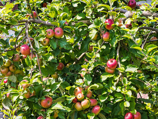 Ripe and unripe apples on a tree