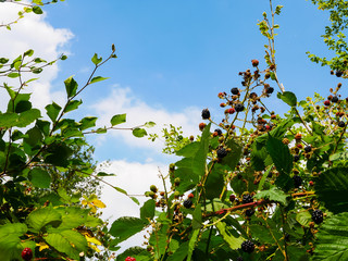 Blackberries on the bush in front of cloud sky
