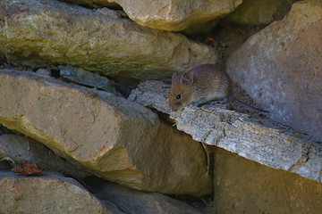 Cute field mouse on a peace of wood in a wall made of stones