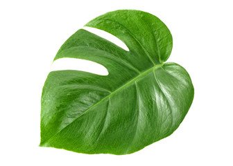 Leaf of Monstera plant on white background