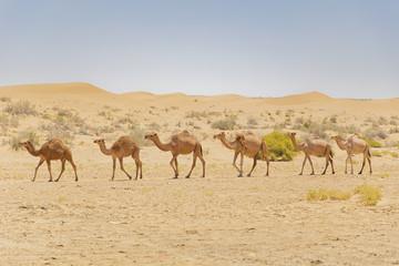 Camel caravan in Iranian desert