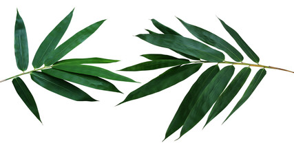 Dark green leaves of bamboo ornamental garden plant isolated on white background, clipping path included.