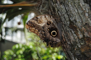 owl butterfly on a trunk, resemble owl's eyes