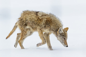 Profile of a Wild Coyote suffering from Mange in a Field of Grass