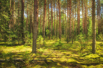 Landscape of the forest. Green summer forest in sunlight. Coniferous trees, moss on the ground. Beautiful view of the summer forest in a sunny day.