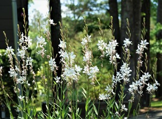 White flower of Gaura linheimeri or Whirling Butterflies blooming on the garden and pine trees background, Spring in GA USA.