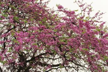 Spring, pink blooming trees (known as Cercis siliquastrum, Cercis European, European Tsertsis, Judas tree, Cercis siliquastrum, canadensis)