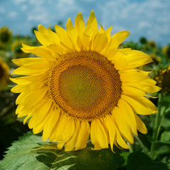 A flower of a sunflower against a background of green foliage and the blue sky.A square banner.