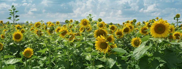 Field with sunflowers against a blue sky with clouds.Panoramic web banner with copy space.