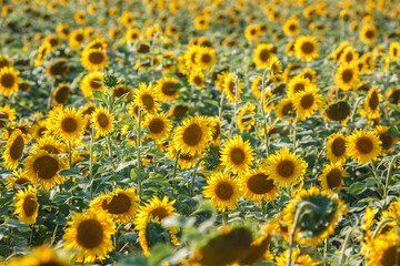 panorama in field of blooming sunflowers in sunny day