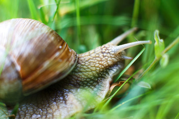the snail crawls in the grass close