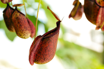 Catch bag of the tropical insectivorous plant, Nepenthes