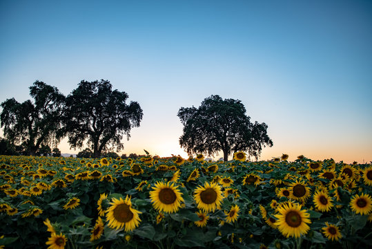 California Sunflowers, agriculture field at sunset
