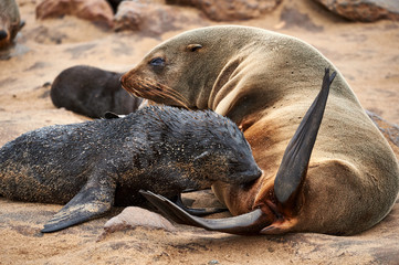 Female fur seal nursing her puppy