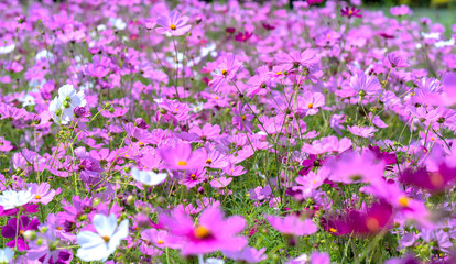 Cosmos bipinnatus flowers shine in the flower garden with colorful shimmering bonsai and beautiful. This flower is like stars sparkling in the sky