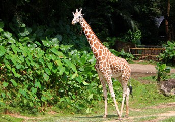 The giraffe (Giraffa) is a genus of African even-toed ungulate mammals, the tallest living terrestrial animals and the largest ruminants.