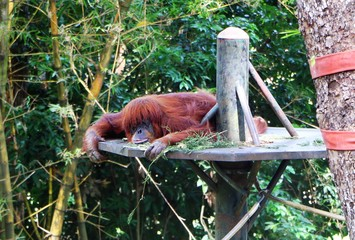 The orangutans are three extant species of great apes native to Indonesia and Malaysia.