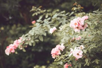 vintage pink rose flower tree. film color tone filter efecct.