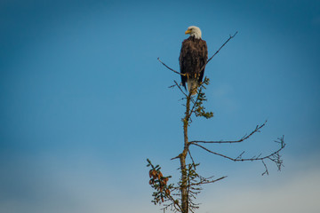 Bald eagle sitting on tree and looking for prey