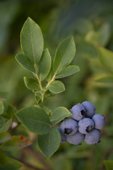 BERRIES - blueberry on a green background