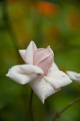 FLOWERS - antique rose