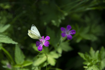 INSECTS - white butterfly on a flower