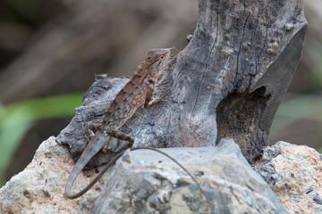 oriental garden lizard or eastern garden lizard in Thailand