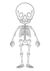 Outline drawing of a human skeleton