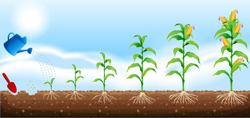 A set of corn development