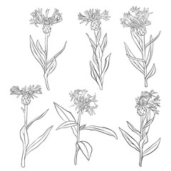 vector set of drawing cornflowers