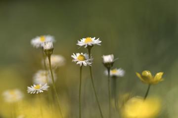 Bellis perennis (common daisy, lawn daisy)