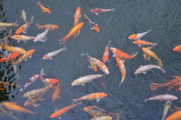 Koi fish on the pond