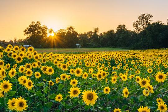 Sunset over a sunflower field in Jarrettsville, Maryland.