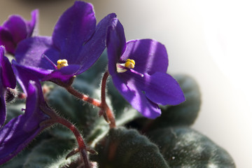 african violet flower or violet saintpaulias flowers lilac in a pot on window sill