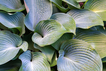 Beautiful leaves of hosta plant in the garden