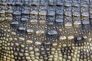 Colorful patterns and skin of the crocodile.