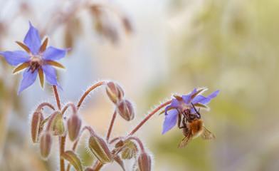 Blaue makro Blüten des Borretsch (Borago officinalis)