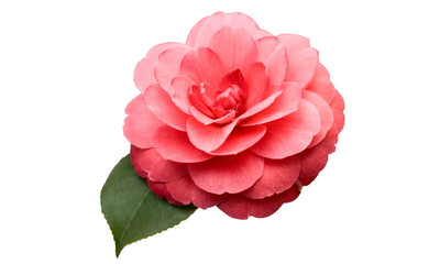 Pink Camellia Flower with green leaf isolated on white background.