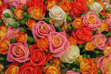 Carpet of beautiful multi-colored roses. Floral background