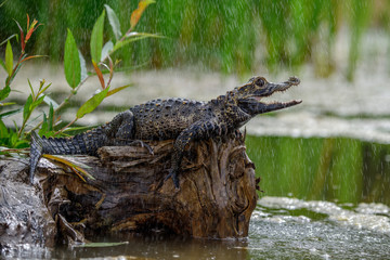 Black caiman (Melanosuchus niger) Amazon rainforest, Brazil