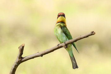 Printed roller blinds Bird Chestnut-headed bee-eater or Merops leschenaulti perching on tree branch , Thailand