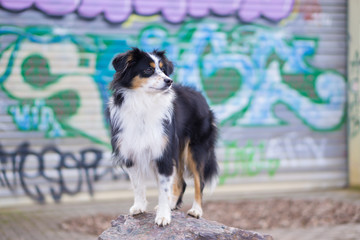 Nala the Miniature Australian Shepherd, Urban Dog, Graffiti